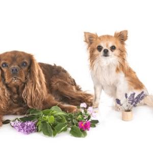 Elixirs floraux pour chien